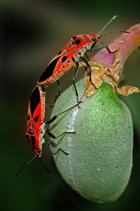MEATING OF RED INSECT