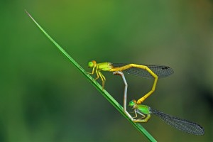 Mating of Damselfly