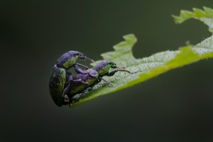 Mating of Weevil
